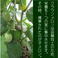 画像2: 子メロン 1Kg(約10〜18個入り) 【送料別】 (2)
